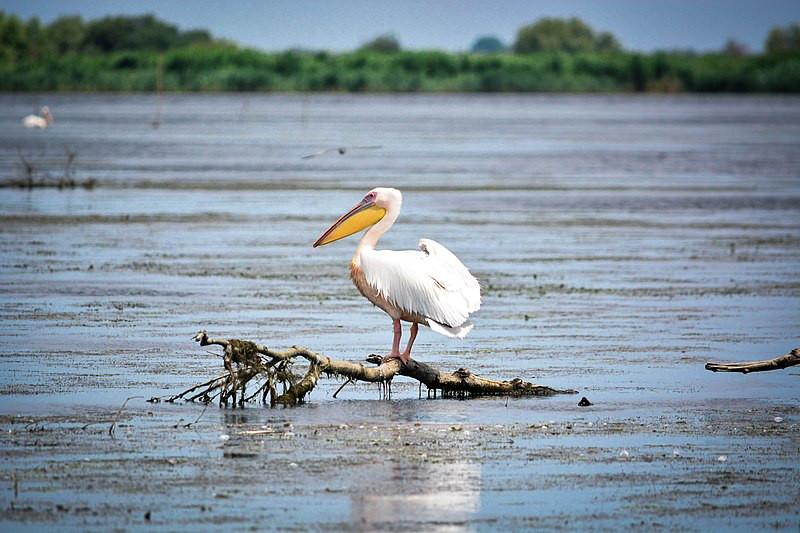 Dacian Pelican
