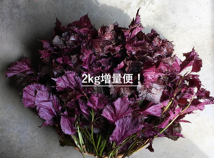 【予約販売スタート】本物の有機ちりめん赤紫蘇2kg