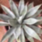 agave-2-1046.jpg