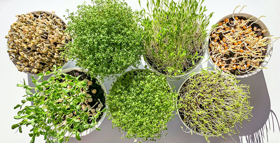 microgreens-and-sprouts-in-white-bowls-f