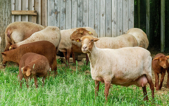 Schafe.jpg