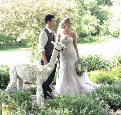 Bride and Groom with Alpaca