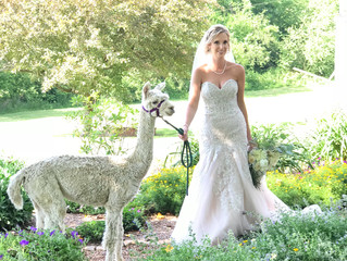 A Bride and an Alpaca (part 2)