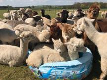 Alpaca Cooling Options