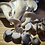 Thumbnail: Sporeganic's Blue Oyster Mushrooms