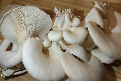 Pathfinder Oyster Mushrooms