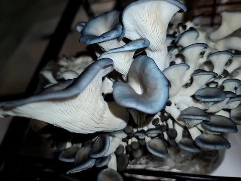 Blue Oyster Mushroom Grow Kit
