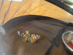 Wow, our first Painted Lady Butterfly emerged!