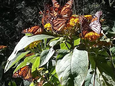 """Excursion """"Le papillon Monarque"""""""