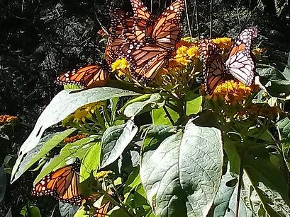 Tour de la mariposa monarca