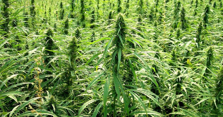 hemp plants.jpg