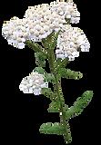 yarrow-achillea-millefilium.png