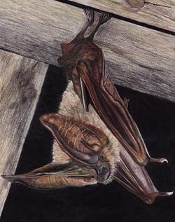 Townshend's Bat
