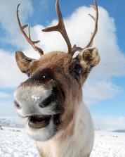 Smiling reindeer