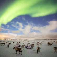 Reindeer herd & northern lights