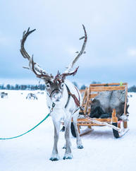 Reindeer ready to go sledding
