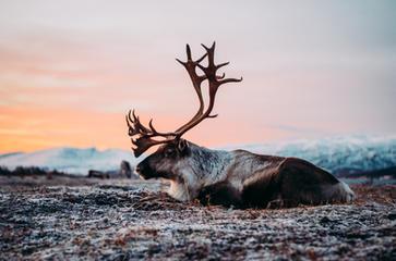 Reindeer at the Tromsø Reindeer camp
