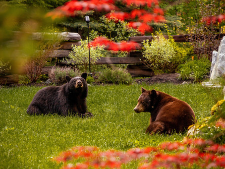 Fun Facts About Whistler's Black Bears