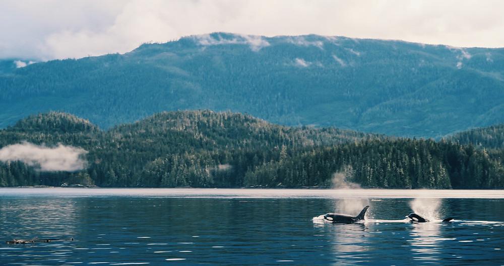 Whistler Survival guide, road trip to tofino, tofino road trip, local knowledge, orca, whale watching, bear watching, local guide to tofino, tofino secret camping