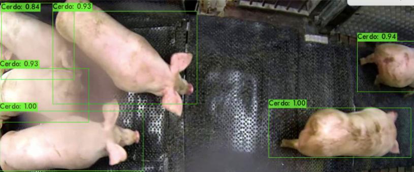 Cerdos detectados.png