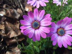 Emery-flower