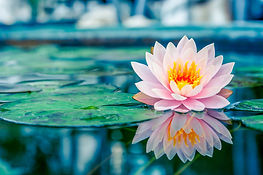 healthy-living-lotus.jpg