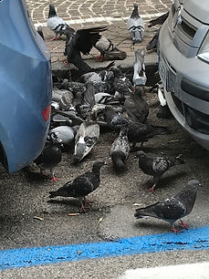 Pigeon Control in the Tameside area