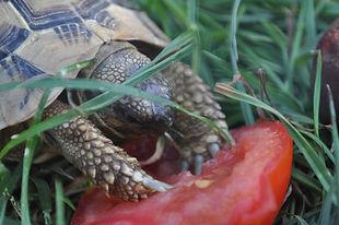 ecologie - la tortue (2).JPG