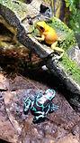 Orange Terribilis & Highland Bronze Frog