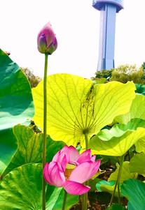 行田のハスの花