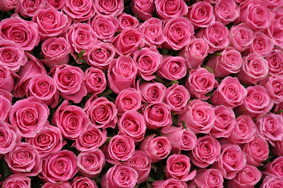 hot pink roses packed side by side.jpg