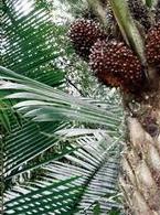 Tagua Nut/Seed - Ivory Palm