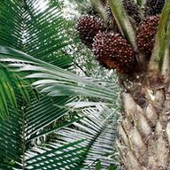 Tagua Nut Tree