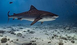 tigershark maldives