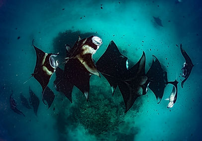 a lot of Manta Rays