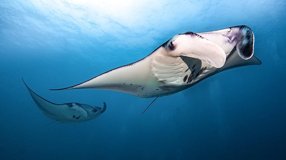 manta maldives