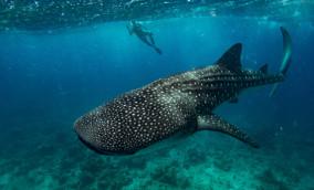 whaleshark-maldives.jpg