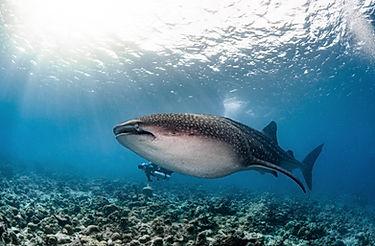 whaleshark maldives.jpeg