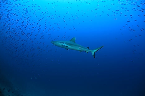 Veligandu - Grey Reef Shark