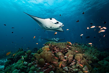 manta , maldives