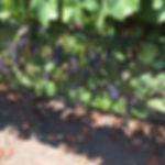 Pinot_Saveria.JPG