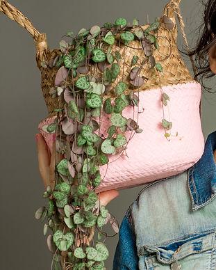 עיצוב עם צמחים: שעוונית זוחלת ceropegia woodii, string of hearts
