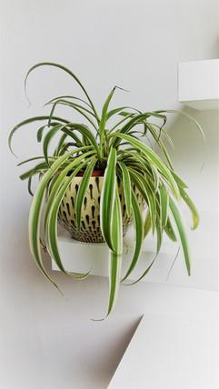 צמח העכביש. סטיילינג וצילום סוקולינה.jpg