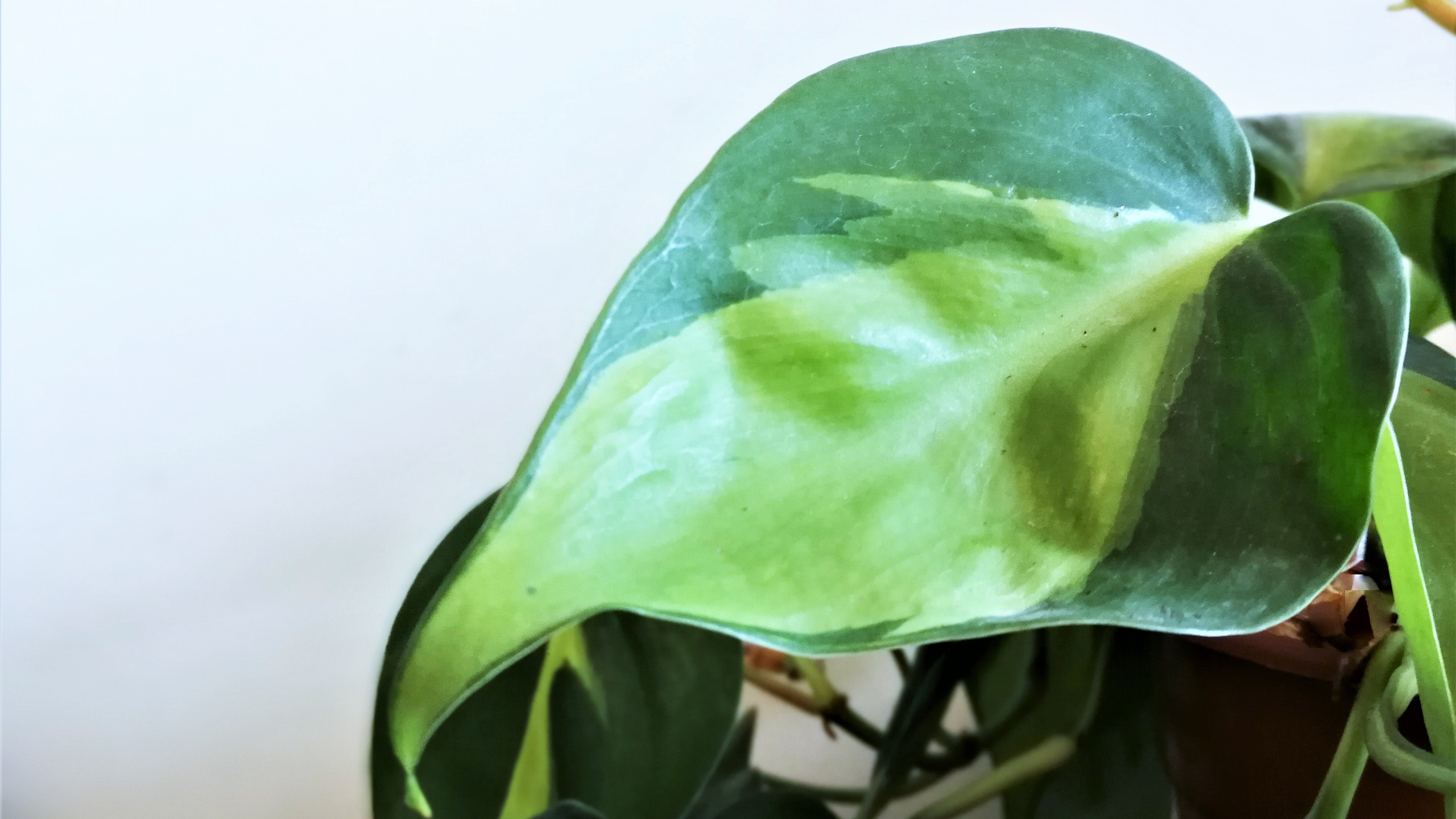 Philodendron Brazil