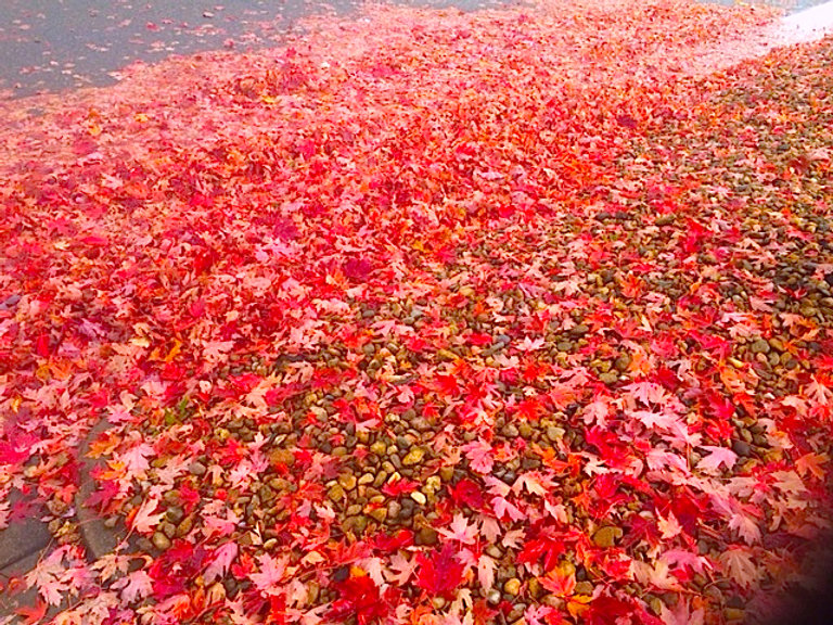 Pink leaves in the morning fall