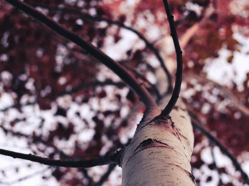 Birch Wood & Cranberry