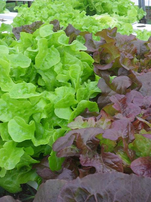 Lettuce - whole