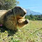 marmotte htes alpes.jpg