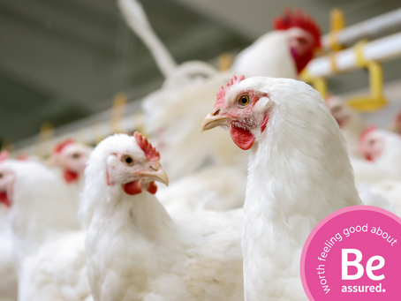 A Look Into The Sustainability of Canada's Chicken Industry