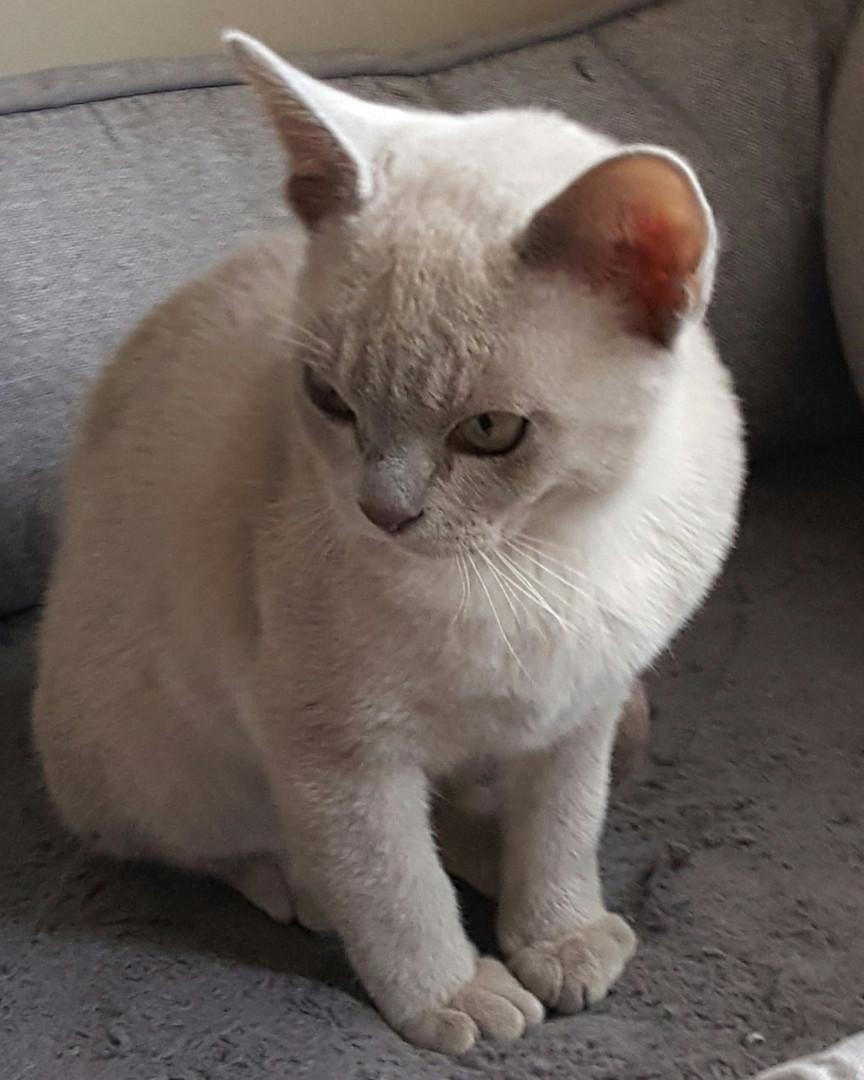adoptable burmese cats